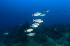 Silvery bigeye fish underwater Stock Image