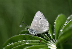 Silvery Blue Butterfly Closeup Lupine Leaf. Silvery Blue Butterfly close up perched on a dew covered Lupine leaf stock photography
