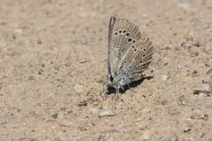 Silvery Blue Butterfly - Glaucopsyche lygdamus. Mle Silvery Blue Butterfly collecting salt and minerals from the dirt road. Carden Alvar Provincial Park Royalty Free Stock Photo