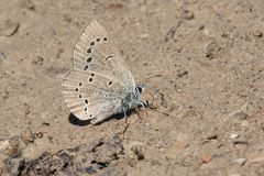Silvery Blue Butterfly - Glaucopsyche lygdamus. Mle Silvery Blue Butterfly collecting salt and minerals from the dirt road. Carden Alvar Provincial Park Stock Photo