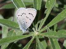 Silvery Blue Butterfly on a Lupine Leaf Stock Photos