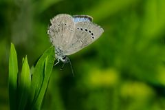 Silvery Blue Butterfly. Perched on a leaf. Colonel Samuel Smith Park, Toronto, Ontario, Canada Stock Image