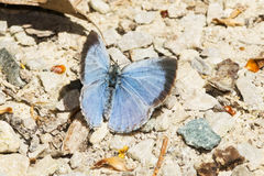 Silvery Blue Butterfly Royalty Free Stock Photo