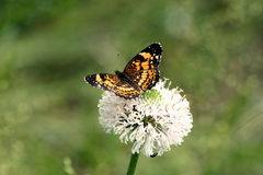 Silvery Checkerspot Butterfly on Wildflower. A silvery checkerspot butterfly with his black, silver and yellow wings spread while resting on a beautiful white royalty free stock photography