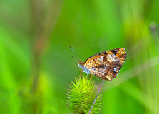 Silvery Checkerspot (Chlosyne nycteis) Stock Photography