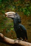 Silvery-cheeked hornbill, Bycanistes brevis, detail portrait of beautiful forest bird, Ethiopia, Sudan, Kenya, Tanzania. Bill bird Royalty Free Stock Photos