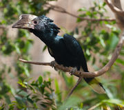 Silvery-cheeked Hornbill Royalty Free Stock Photo