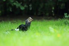 Silvery-cheeked hornbill Royalty Free Stock Photos