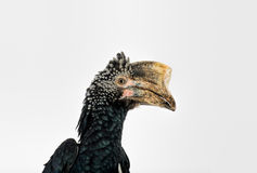 Silvery Cheeked Hornbill Stock Image