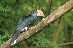 Silvery-cheeked hornbill Royalty Free Stock Photography