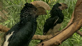 Silvery-cheeked hornbill and Trumpeter hornbill. stock video