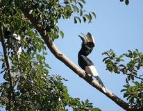 Silvery-cheeked Hornbill in Uganda. A male bird named Silver-cheeked Hornbill on a bough in Uganda (Africa Royalty Free Stock Photos