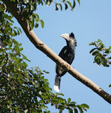 Silvery-cheeked Hornbill in Uganda Royalty Free Stock Image