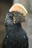 Silvery-cheeked hornbill Stock Photo