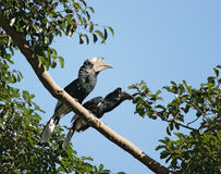 Silvery-cheeked Hornbills in Africa. A male and a female bird named Silvery-cheeked Hornbill on a bough in Uganda (Africa Royalty Free Stock Photography