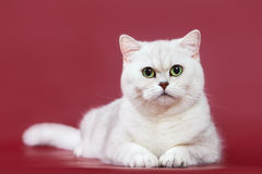 Silvery chinchilla british kitten cat Stock Images
