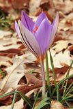 Silvery crocus in bloom Stock Image
