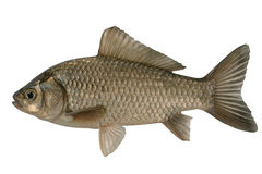 Silvery crucian Royalty Free Stock Image