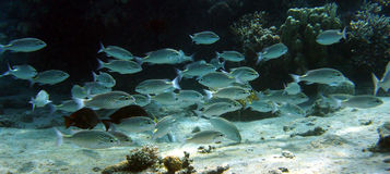 Silvery Fish school. School of fish at the bottom swimming back and forth Royalty Free Stock Photo