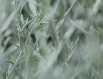 Silvery foliage background. Stock Image