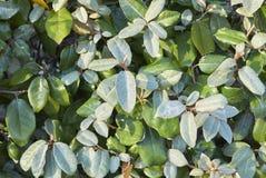 Silvery foliage of Elaeagnus pungens stock photo