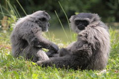 Silvery gibbon. The couple of sitting silvery gibbons stock photography