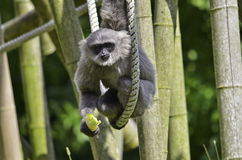 Silvery gibbon. A Silvery gibbon on ropes and bamboos Royalty Free Stock Photo