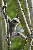 Silvery gibbon. A Silvery gibbon on ropes and bamboos Royalty Free Stock Photography