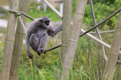 Silvery gibbon. The silvery gibbon gaoing on the rope royalty free stock image