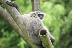 Silvery gibbon. The silvery gibbon sitting on the wood posts stock images