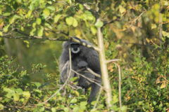 Silvery gibbon Stock Photography