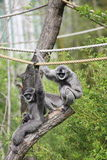 Silvery gibbon Stock Photo