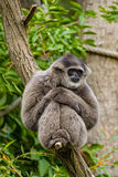 Silvery Gibbon Royalty Free Stock Images