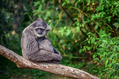 Silvery gibbon Hylobates moloch. Sitting on a branch. The silvery gibbon ranks among the most threatened species royalty free stock image