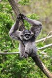 Silvery gibbon. (Hylobates Moloch) in a zoo Stock Images
