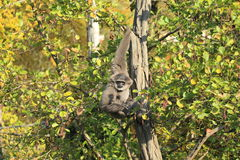 Silvery gibbon Royalty Free Stock Image
