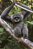 Silvery Gibbon. Is sitting in a tree stock photo