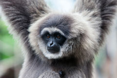 A Silvery Gibbon Royalty Free Stock Photo