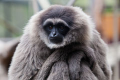 A Silvery Gibbon Royalty Free Stock Photos