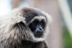 A Silvery Gibbon Royalty Free Stock Images