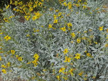 Silvery gray plant with yellow flowers Stock Photos
