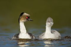 Silvery grebes swimming in freshwater lake