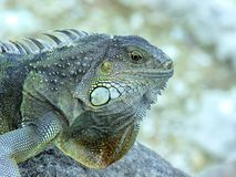 Silvery green iguana Royalty Free Stock Images