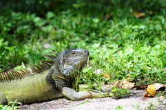 Silvery Iguana Royalty Free Stock Photo