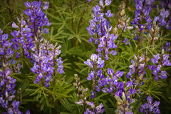 Silvery Lupine Purple Wildflowers In Colorado. Detail Stock Images
