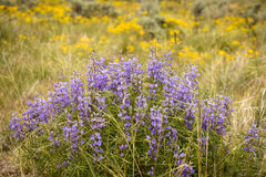 Silvery Lupine With Yellow Ragwort Background. Colorado Wildflowers Royalty Free Stock Image