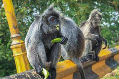 Silvered leaf monkeys Trachypithecus cristatus sitting on guardrail in an outdoor park. The silvery lutung also known as silvered leaf monkey or silvery langur royalty free stock image