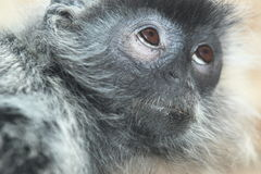 Silvery lutung. The detail of silvery lutung royalty free stock image