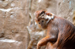 Silvery lutung Stock Photography