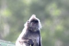 Silver leaf monkey or Silvery Lutong or Silvery Langur Trachypithecus cristatus in the mangrove of Labuk Bay in Sabah, Malaysa. The silvery lutung Trachypithecus stock photos
